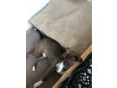 Adopt Pop a Gray/Blue/Silver/Salt & Pepper German Shepherd Dog / American Pit