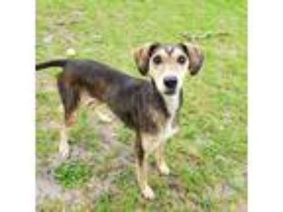 Adopt Abigail a Tricolor (Tan/Brown & Black & White) Greyhound / Labrador