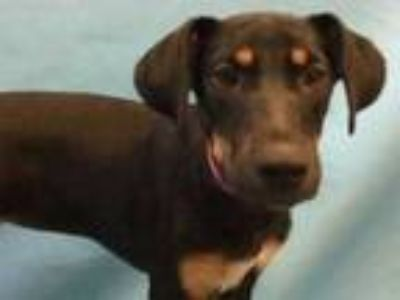 Adopt Bridgett a Black Hound (Unknown Type) / Mixed dog in Golden Valley