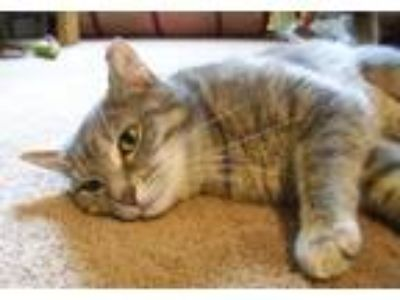 Adopt LM-Sweetie a Domestic Shorthair / Mixed (short coat) cat in Devon