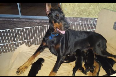European Doberman Pinscher Puppies