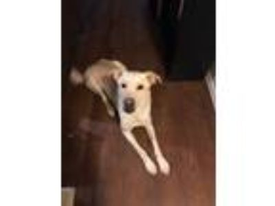 Adopt Sterling a White Labrador Retriever / Great Pyrenees / Mixed dog in Azle