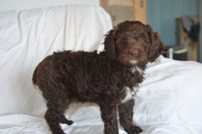 Poodle (Miniature)-Brittany Mix PUPPY FOR SALE ADN-87299 - Brittnepoo
