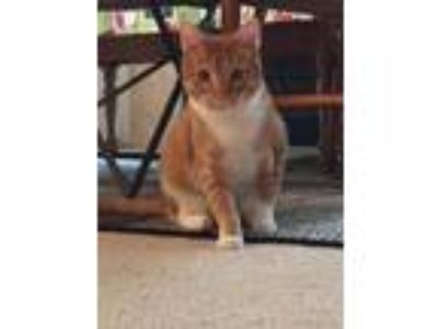 Adopt Simba a Orange or Red Tabby Domestic Shorthair cat in Howe, TX (23974638)