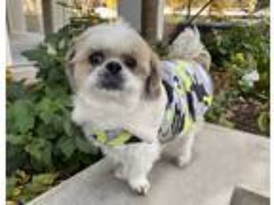Adopt Teuscher a Tan/Yellow/Fawn Shih Tzu / Mixed dog in New York, NY (16133186)