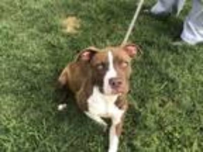 Adopt ROWLING a Staffordshire Bull Terrier, Mixed Breed