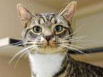 Adopt VINCENT a Brown Tabby Domestic Shorthair / Mixed (short coat) cat in