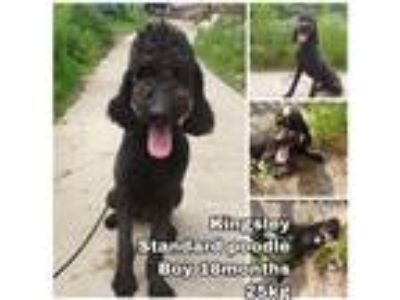 Adopt Kingsley from Korea a Black Poodle (Standard) / Mixed dog in Seattle