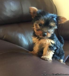 dsrgvsgrd Yorkshire Terrier puppies for sale