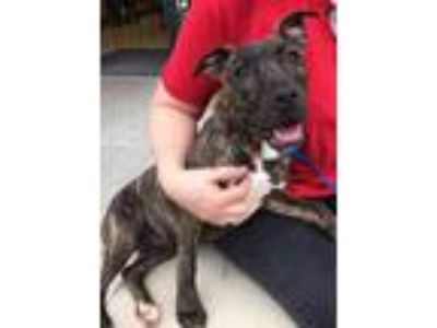 Adopt Blossom--Courtesy Listing a Brindle American Staffordshire Terrier / Mixed