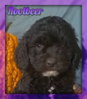 Rootbeer Female Cockapoo