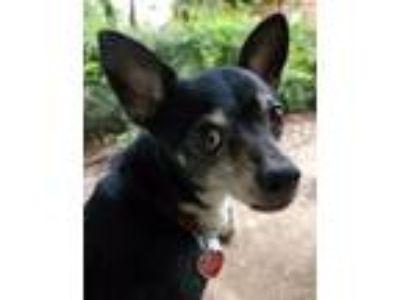 Adopt Oakley a Rat Terrier, Corgi