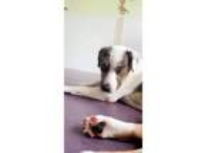 Adopt Teddy a Cattle Dog, Boxer