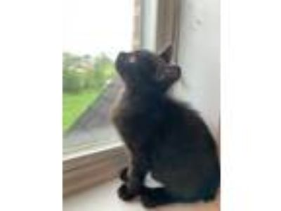 Adopt Alex a Black (Mostly) Domestic Shorthair (short coat) cat in Sykesville