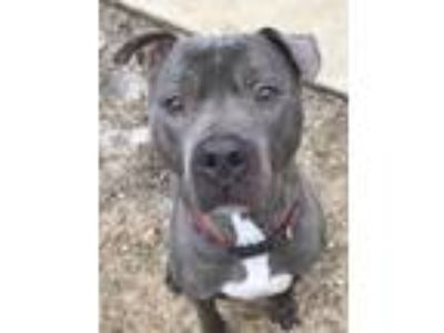 Adopt Fluffy a Pit Bull Terrier / Mixed dog in Brookeville, MD (20088447)