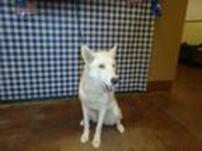 Adopt Dog a White Husky / Mixed dog in Thousand Palms, CA (25817932)