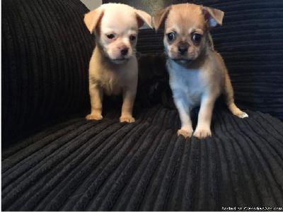 Chug Pups