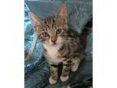 Adopt Ayelet a Brown Tabby Domestic Shorthair / Mixed (short coat) cat in