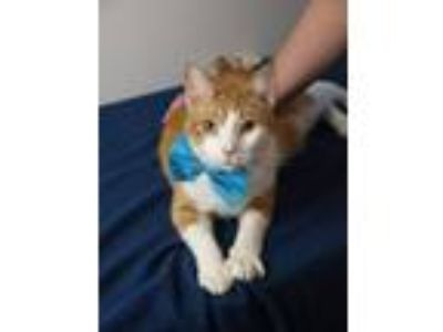 Adopt Oren a Orange or Red (Mostly) Domestic Shorthair / Mixed (short coat) cat