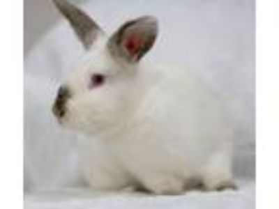 Adopt Denver a Bunny Rabbit