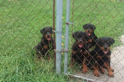 Rottweiler Puppies   16 weeks age