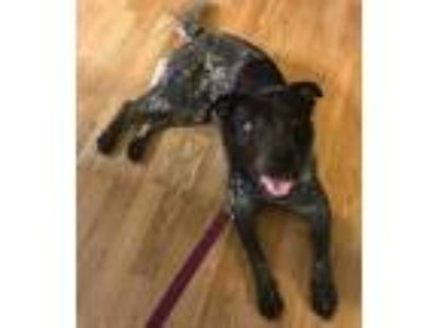 Adopt Luna a Black - with White Blue Heeler / Pointer / Mixed dog in Romeoville