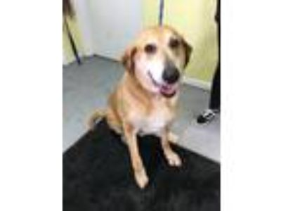 Adopt Tyson a German Shepherd Dog, Labrador Retriever