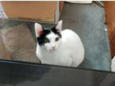 Adopt Ralph a White (Mostly) Domestic Shorthair (short coat) cat in Norristown