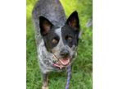 Adopt Sage TX a Black - with White Australian Cattle Dog / Mixed dog in Boonton