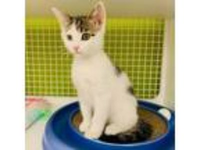 Adopt Peggy Rose a Domestic Short Hair
