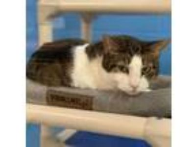 Adopt Blanquita a White Domestic Shorthair / Domestic Shorthair / Mixed cat in