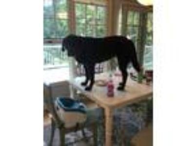Adopt Dolly a Brown/Chocolate Labrador Retriever dog in Grand Haven