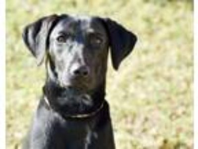 Adopt Midnight a Labrador Retriever, Mixed Breed