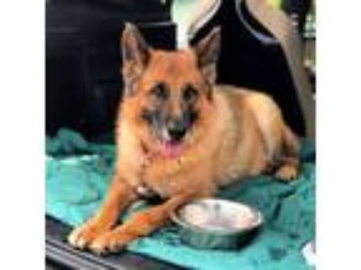Adopt Diva a German Shepherd Dog