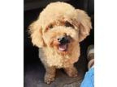 Adopt Jude a Red/Golden/Orange/Chestnut Toy Poodle / Mixed dog in Warwick