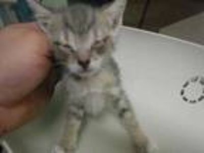 Adopt 41664040 a Gray or Blue Domestic Shorthair / Domestic Shorthair / Mixed
