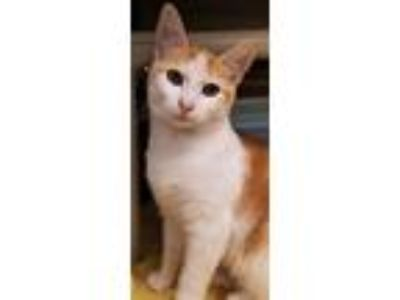Adopt CJ a Orange or Red (Mostly) Domestic Shorthair / Mixed (short coat) cat in