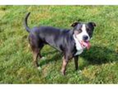 Adopt YARIS a Black - with White Border Collie / Mixed dog in Louisville