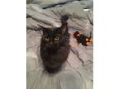 Adopt Cinna a All Black Domestic Longhair / Mixed cat in Hamilton, OH (24128781)