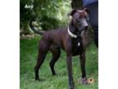 Adopt Ace a Labrador Retriever, Doberman Pinscher