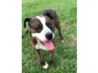 Adopt Mello a American Pit Bull Terrier / Mixed dog in Germantown, OH (23456232)