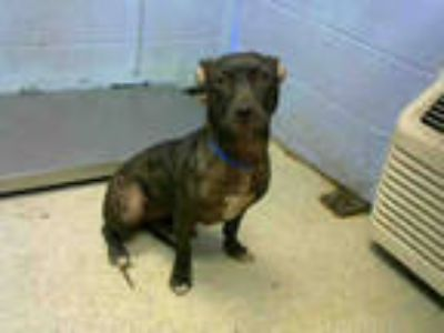 Adopt PAVA a Brindle - with White American Pit Bull Terrier / Mixed dog in