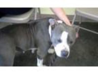 Adopt Ellie a Gray/Silver/Salt & Pepper - with White American Staffordshire