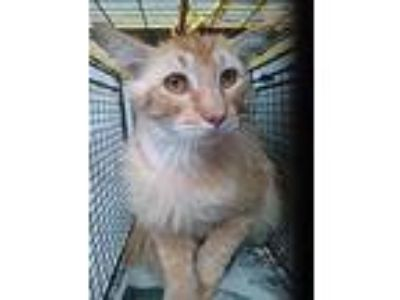 Adopt MR. KITTY a Orange or Red Domestic Longhair / Mixed (long coat) cat in San