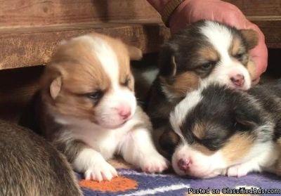 delightful classy Pembroke welsh corgi puppies for sale