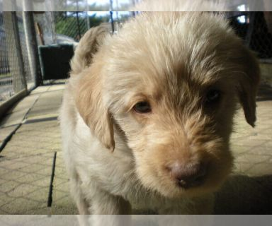 Labradoodle PUPPY FOR SALE ADN-131348 - labradoodle pups