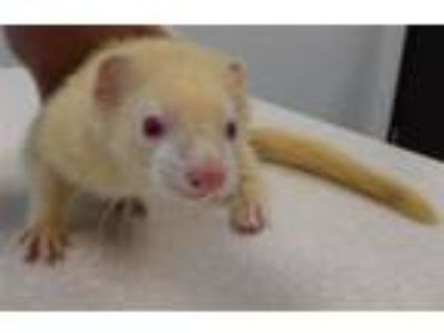 Adopt Noodle a Ferret small animal in Houston, TX (25868847)
