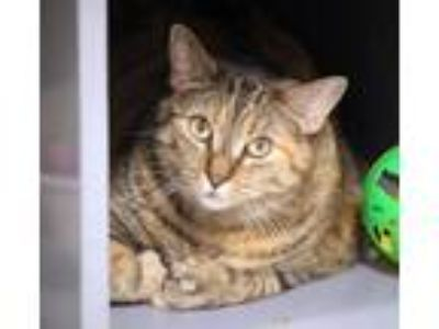 Adopt Catnippa a Brown Tabby Polydactyl/Hemingway / Mixed (short coat) cat in