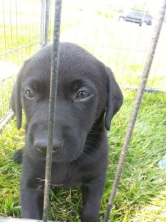 Lab (Pointing) AKC Registered Puppies