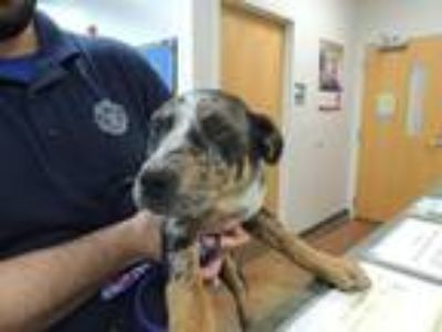 Adopt GINNY a Catahoula Leopard Dog, Mixed Breed